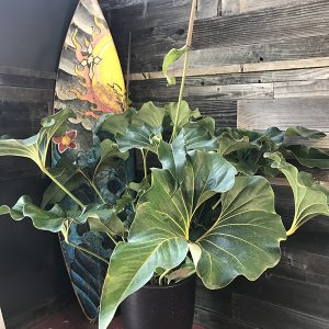 "Anthurium Brownii | 6"" Pot"