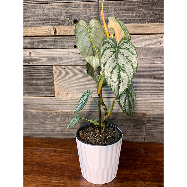 "Philodendron Brandtianum | 6"" Pot"