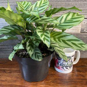 "Calathea Cocinna 'Freddie'   6"" Pot"