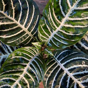 "Aphelandra Dania ""Zebra"" Tropicals | 6"" Pot"