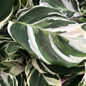 """Calathea Lietzei 'Fusion White'   6"""" Pot"""