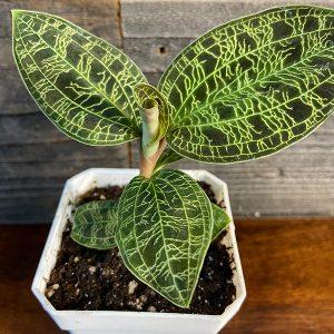 """Macodes Petula """"Green Jewel Orchid"""""""