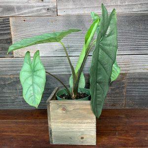 "Alocasia Heterophylla 'Corazon' | 6"" Pot"