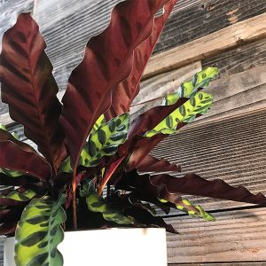 "Calathea Lancifolia 'Rattlesnake Plant' | 6"" Pot"