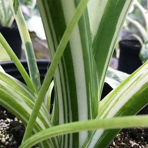 "Alocasia Macrorrhiza Variegata Albo | 6"" Pot"