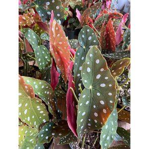 "Begonia Maculata   6"" Pot"