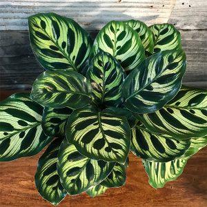 "Makoyama 'Peacock Plant' Calathea | 6"" Pot"