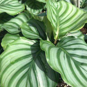 """Orbifolia Calathea   6"""" Pot"""