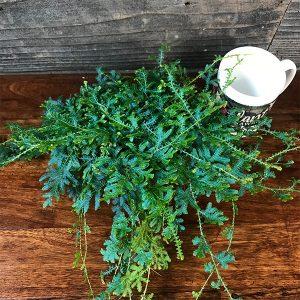 """Peacock Fern"" Selaginella Uncinata   6"" Pot"