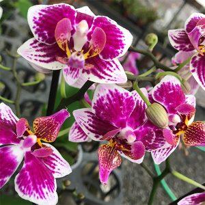 "Phalaenopsis Orchids | 5"" Pot"