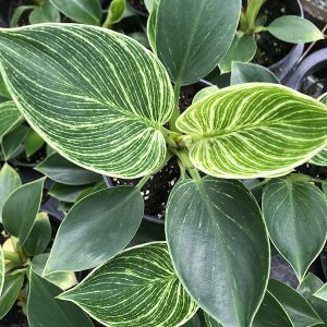"Birkin Philodendron | 6"" Pot"