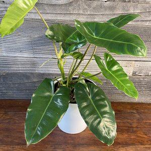 "Burle Marx Philodendron | 6"" Pot"