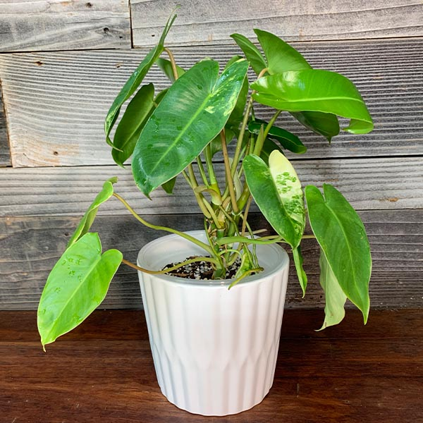 """Philodendron Burle Marx Variegated 