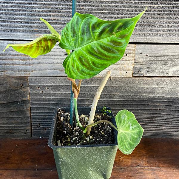 Philodendron Verrucosum1