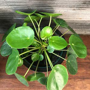 "Pilea Peperomioides Tropicals   4"" Pot"