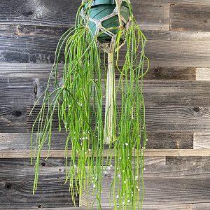 "Mistle Toe Cactus Rhipsalis Tropical   6"" Pot"
