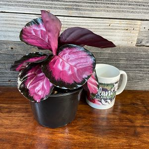 "Rosy Calathea | 6"" Pot"