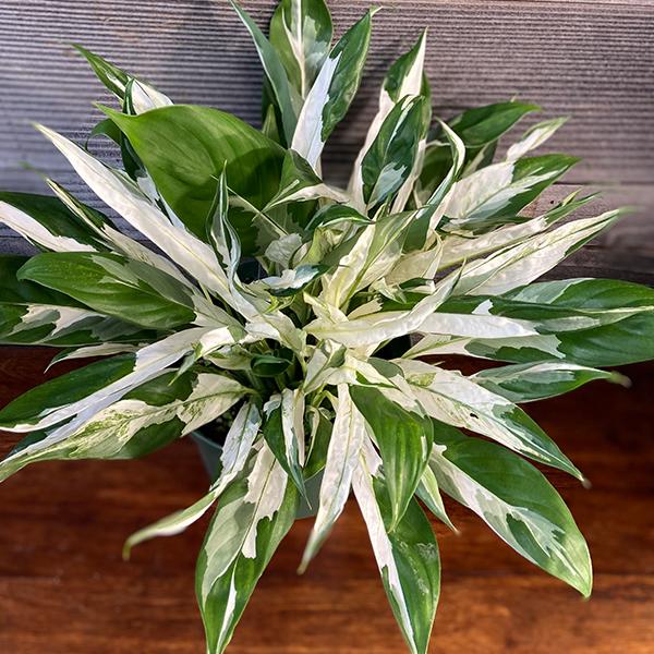 Spathiphyllum Picasso