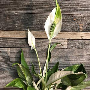 "Picasso Spathiphyllum | 6"" Pot"