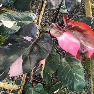 pink princess plant