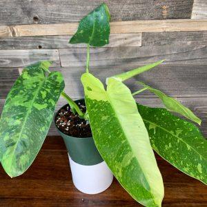 Philodendron Jose Bueno   6″ Pot   Auction